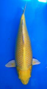 486-Sibyla paguyuban-tanggerang-salsakoi-sukabumi-ogon-57-female