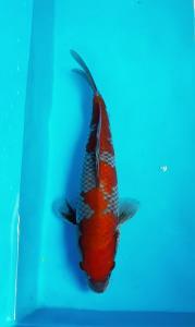143-Ade kurniawan-semarang -SCK SUKABUMI-SUKABUMI-ochiba-25cm-085720872011