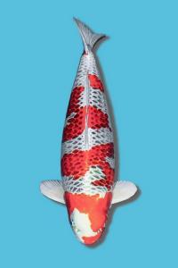 429-Jimmie liu-jakarta-gang koi-solo-hikarimoyo 70cm male