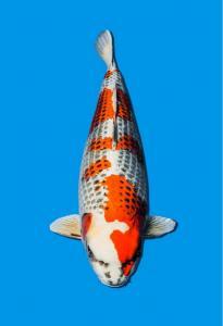 423-Budiono wijanto-bekasi-gang koi-solo-hikarimoyo 80cm