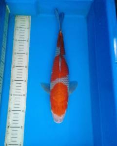 392-Utekoi-jogja-bolang-bandung-kawarimono-38cm
